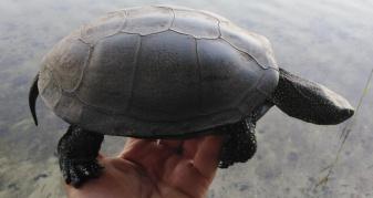 Болотна черепаха з Нобельського парку