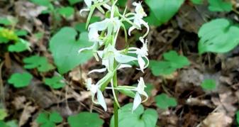 Любка зеленоквіткова (Platanthera chlorantha)