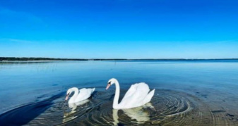 Лебеді на Шацьких озерах