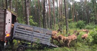 На Турійщині до лісу випустили 120 благородних оленів