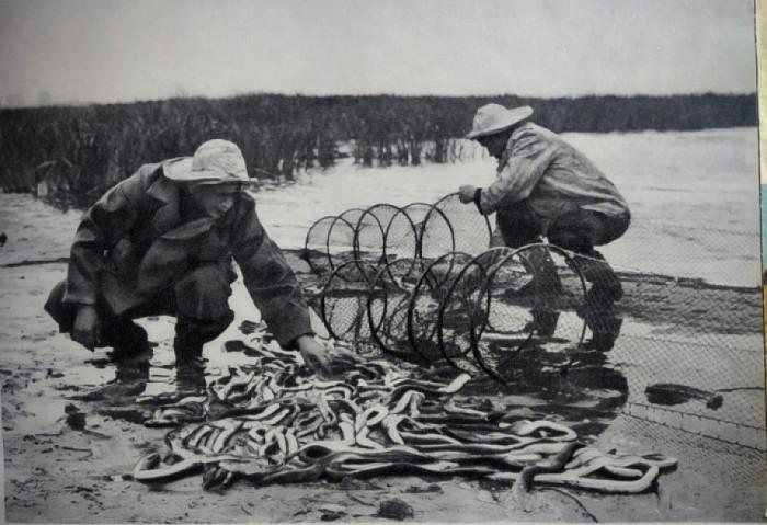 Так ловили вугрі в 60-х роках...